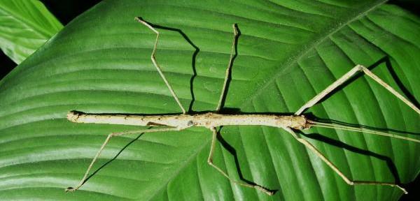 Phaenopharos-khaoyaiensis.jpg
